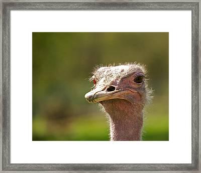 African Ostrich Framed Print by Ivan SABO