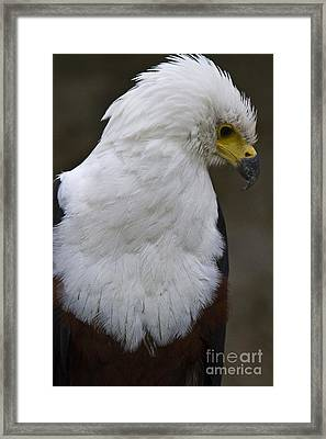 African Sea Eagle 5 Framed Print by Heiko Koehrer-Wagner