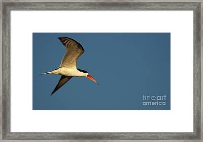 African Skimmer Framed Print