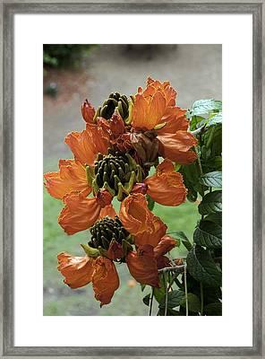 African Tulip Framed Print