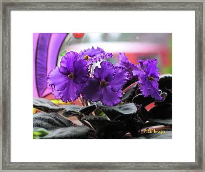 African Violets Framed Print by Margaret Buchanan