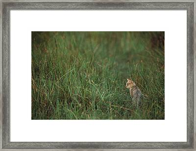 African Wild Cat Felis Lybica Sitting Framed Print by Pete Oxford