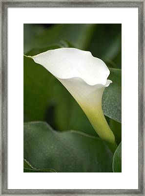 Afternoon Lily II Framed Print by Dickon Thompson