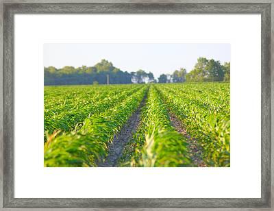Agriculture- Corn 1 Framed Print