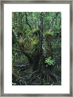 Air Plants Adorn The Trees In South Framed Print by Klaus Nigge