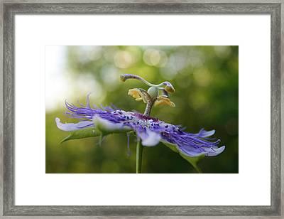 Alabama Purple Passion Wildflower Framed Print by Kathy Clark