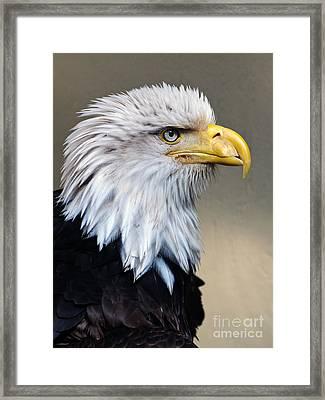 Alaskan  Bald Eagle Portrait Framed Print