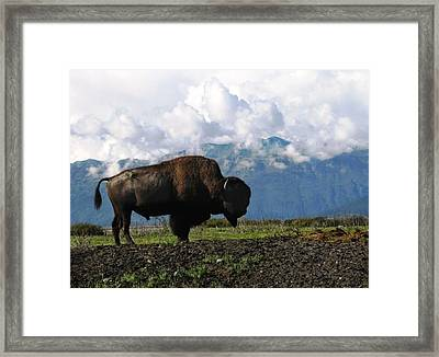 Framed Print featuring the photograph Alaskan Buffalo by Katie Wing Vigil