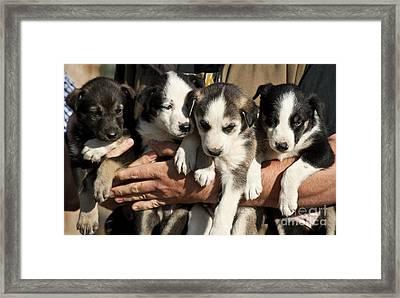 Alaskan Huskey Puppies Framed Print