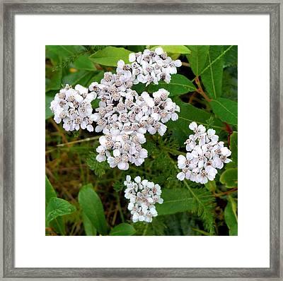 Alaskan Whites Framed Print