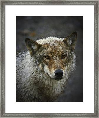 Alaskan Wolf Framed Print