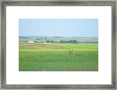 Alberta White Tail Framed Print