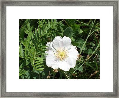 Alberta Wild Prickly White Rose Framed Print