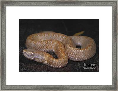Albino Slender Hognosed Pitviper Framed Print by Dante Fenolio