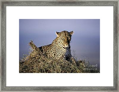 Alert Female Leopard Framed Print by Greg Dimijian