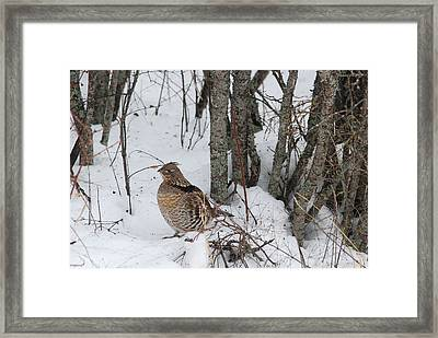 Alert Grouse  Framed Print