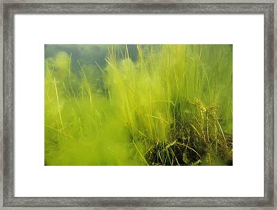 Algae Framed Print by Alexis Rosenfeld