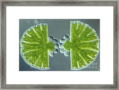 Algae Binary Fission Framed Print by M. I. Walker