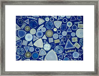 Algae, Fossil Diatoms, Lm Framed Print by M. I. Walker