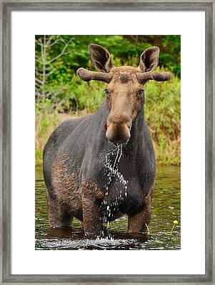 Algonquin Bull Framed Print