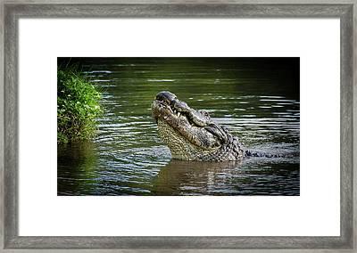 Aligator Bellowing Framed Print by Bill Martin