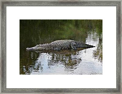 Alligator 1 Framed Print
