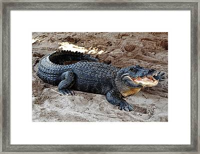Framed Print featuring the photograph Alligator At The Everglades by Pravine Chester