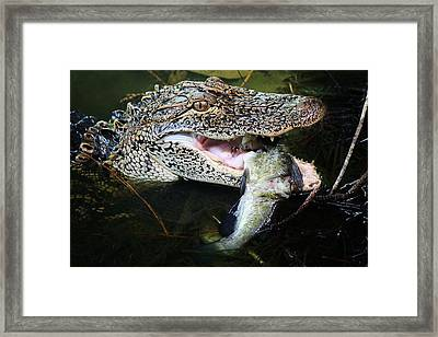 Alligator Eating A Catfish Framed Print by Paulette Thomas