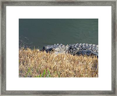 Alligator Eyes Framed Print
