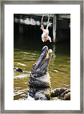Alligator Feeding Framed Print by Garry Gay