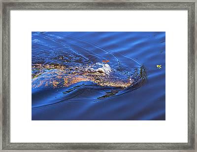 Alligator In Mississippi River Framed Print by Paul Ge