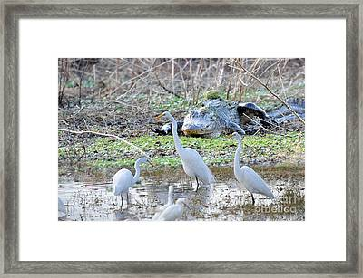 Framed Print featuring the photograph Alligator Looking For Food by Dan Friend