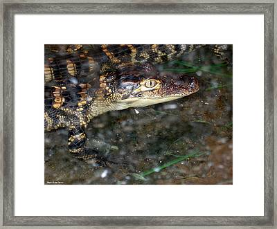 Alligator Framed Print by Suhas Tavkar
