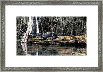 Alligator Sunning Framed Print