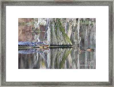 Framed Print featuring the photograph Alligator Waiting For Dinner by Dan Friend