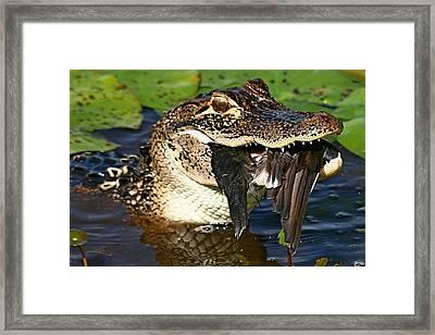 Alligator With Bird Framed Print