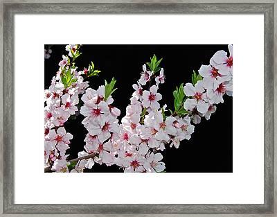 Almond Blossom 0979 Framed Print by Michael Peychich