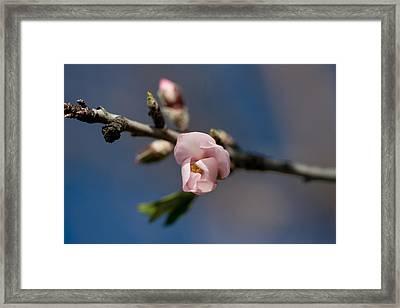 Almond Blossom Framed Print by Ralf Kaiser