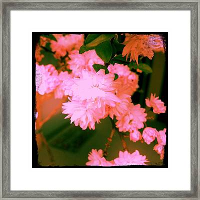 Almond Blossoms Framed Print