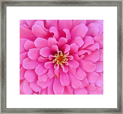 Almost Perfect Zinna Framed Print by Jeanette Oberholtzer