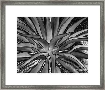 Aloe Black And White Framed Print by Rebecca Margraf