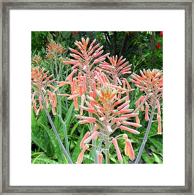 Aloe Crown Of Beauty Framed Print