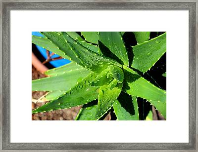 Aloe Framed Print by M Diane Bonaparte