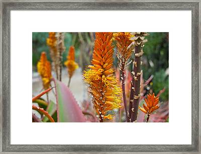 Aloe Vera Blossoms Framed Print