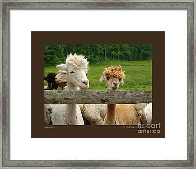 Framed Print featuring the photograph Alpacas-i by Patricia Overmoyer