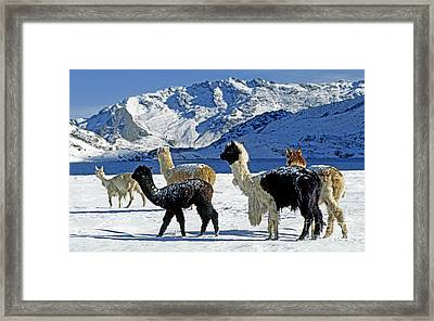 Framed Print featuring the photograph Alpacas In The Snow - Peruvian Andes by Craig Lovell