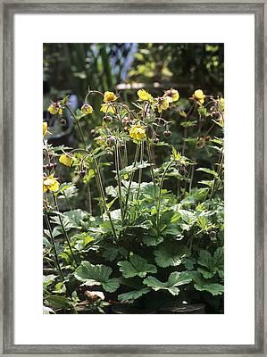 Alpine Avens (geum Montanum) Framed Print