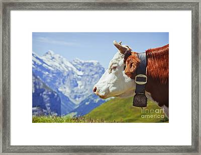 Alpine Cow Framed Print by Greg Stechishin