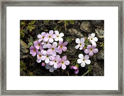 Alpine Rock-jasmine (androsace Alpina) Framed Print by Bob Gibbons