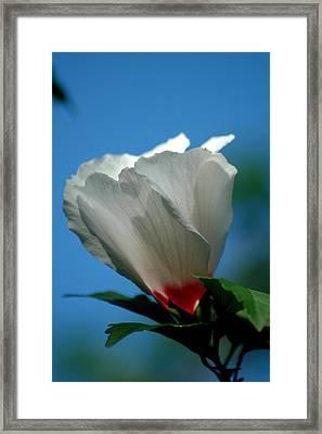 Althea Flower Framed Print by David Weeks